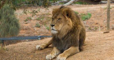 Wielki powrót lwów i tygrysów w opolskim zoo